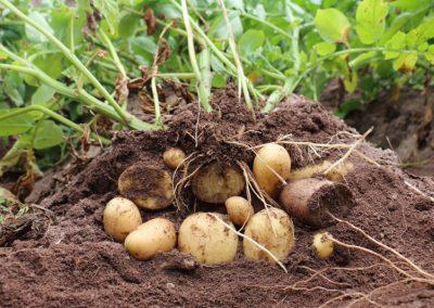 Kartoffelfamilie