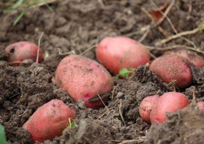 Rotschalige Kartoffel